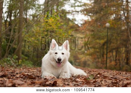 White Sheppard In The Forest Lays Down