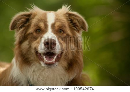 Portrait Of Border Collie