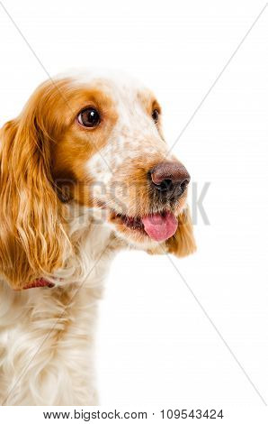 Portrait of a Russian spaniel shows tongue