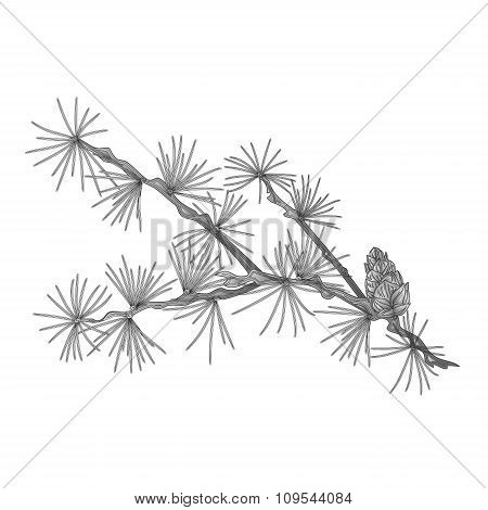 Larch Tamarack Branch As Vintage Engraving Vector