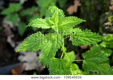 Sunny branch plant nature nettle