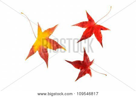 Autumn Red Maple Leaf Isolated On White