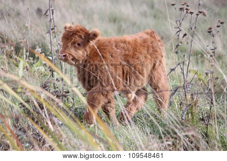 Calf, Long Hair Brown