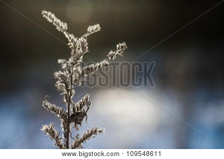 Frozenned Flowers In Winter January Forest