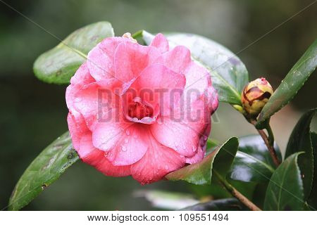 Red Camellia flower and bud