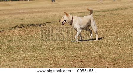 Elderly yellow Labrador mix dog playing