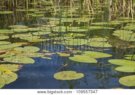 Spatterdock On The Surface Of Lake