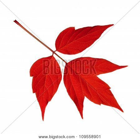 Red Acer Negundo Leaf Isolated On White