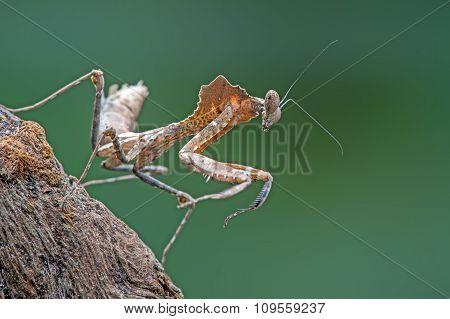 Dead Leaf Praying Mantis (Deroplatys Dessicata)