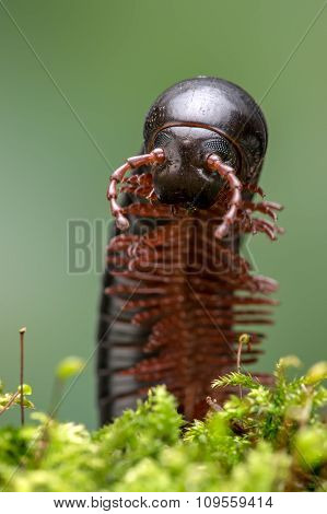 North American Millipede (Narceus Americanus)