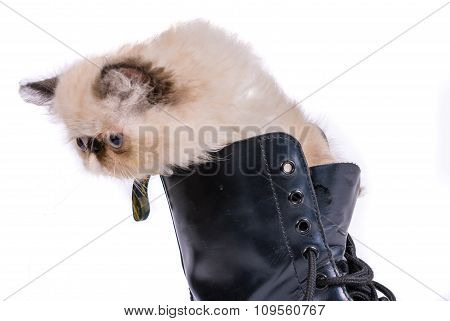 Puss In Boots - Himalauan Can In Boot