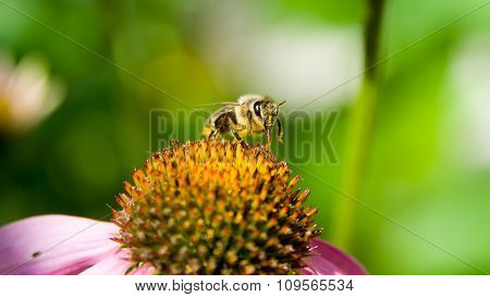 Bee Pollinating A Flower On Green Nature Background