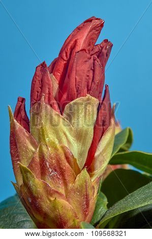 Rhododendron flower potting