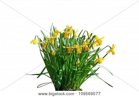 Yellow daffodils and green leaves