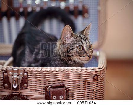Striped Domestic Kitten In A Wattled Suitcase