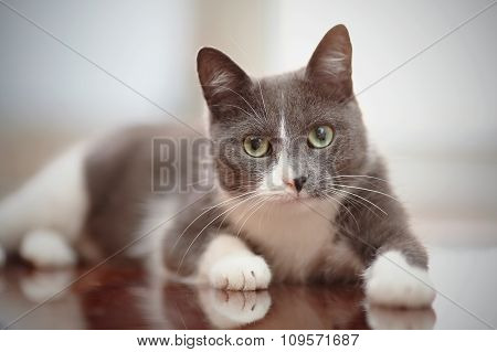 Domestic Lovely Cat Of A Smoky-white Color