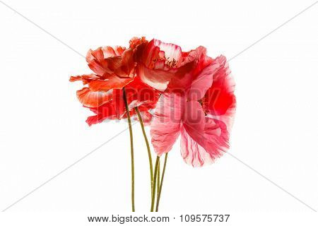 poppy isolated on the white