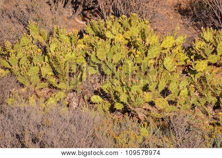 Green Prickly Pear Cactus Leaf