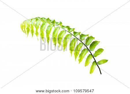 Miding Fern Isolated On White