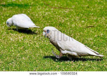 Little Corella: Australian Cockatoo
