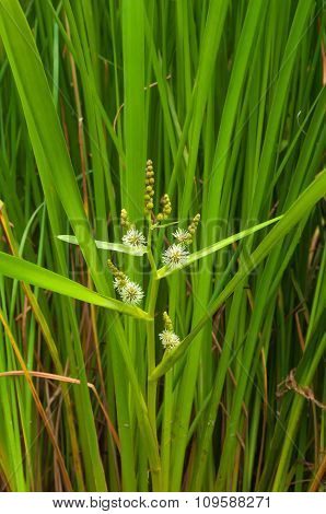 Reeds With Flower Closeup