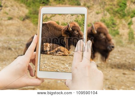 Bison In A Tabet