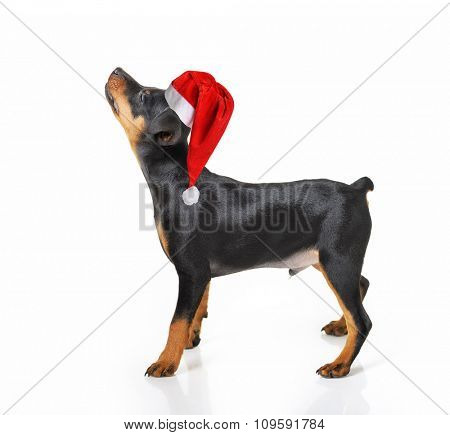Funny dog in Santa hat isolated