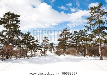 Winter Background With Pine Trees