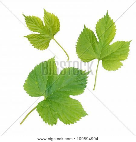 Hop Leaves Isolated On White