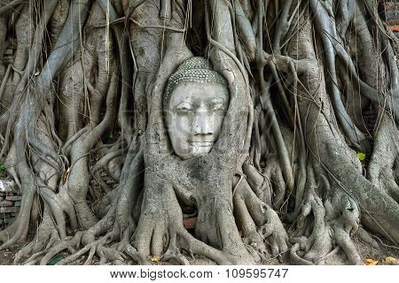 The Head Of Buddha In Tree Roots