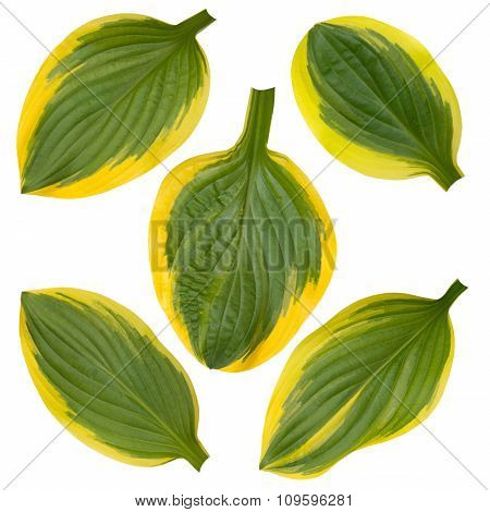 Hosta Green And Yellow Striped Leaves Isolated On White