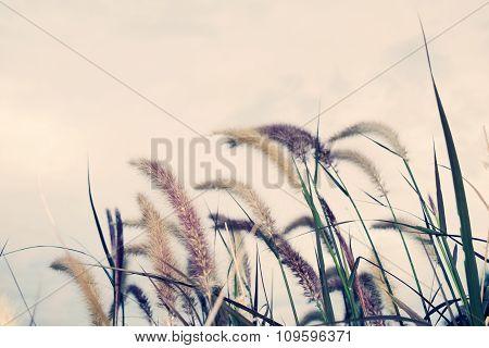 Pennisetum polystachyon Schult - Flower grass and sky vintage soft style