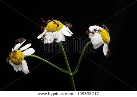 A lot of ants on the daisy flowers. Background black. A colony of ants