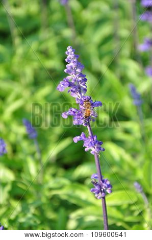 Bee And Lavender Flowers