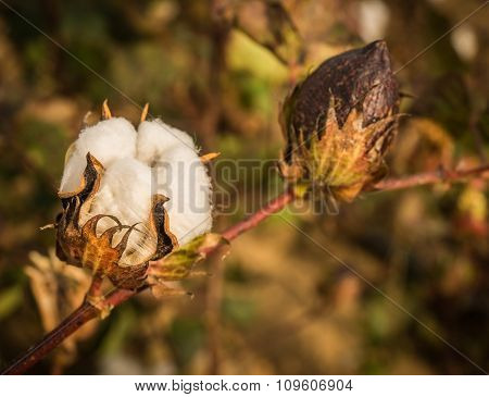 Boxes Of Cotton In The Field