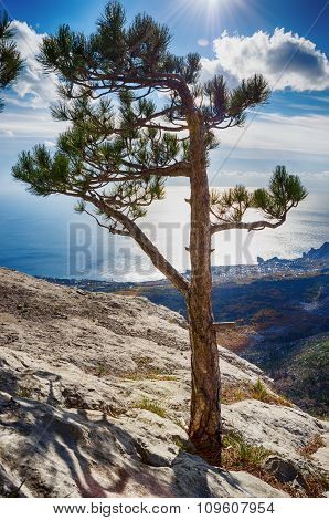 Lonely Pine Tree On A Cliff Top In The Sun