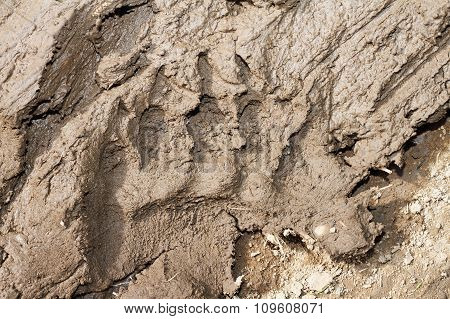 Brown Bear Footprint