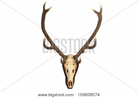 Cervus Elaphus Isolated Trophy