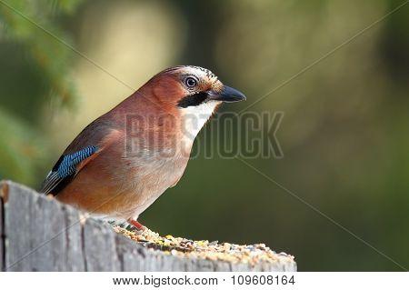 Eurasian Jay Standing On Stump