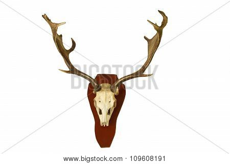 Fallow Deer Hunting Trophy Isolated On White