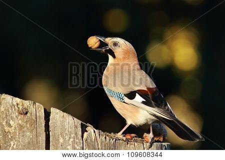 Jay Eating Nut