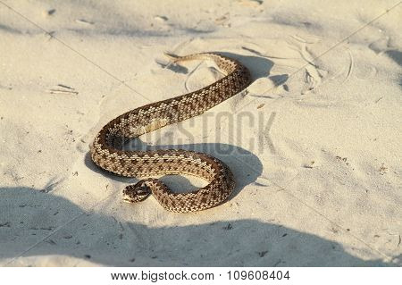 Moldavian Meadow Viper On Sand