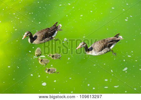 Family Of Ducks In Pond
