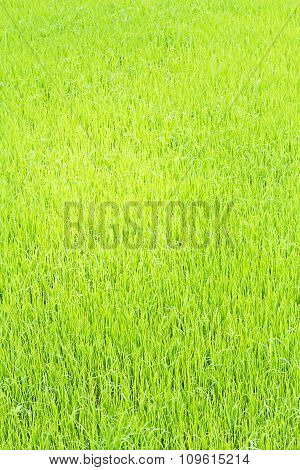 Rice Seedling In The Rice Fields