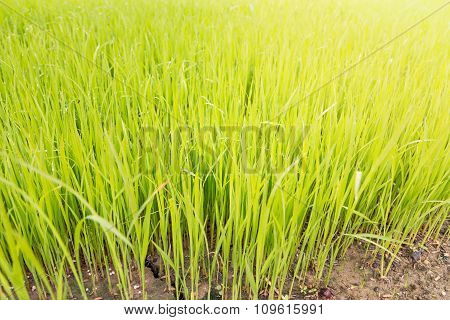 Rice Seedling In The Rice Fields With Sun Haze