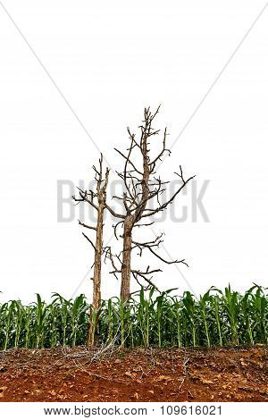 Seedling Corn Field And Trees On Red Lateritic Soil Cross Section