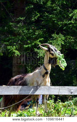 Goat Eating A Leaf