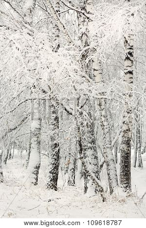 Birches in winter plumage. Russia, Siberia, Novosibirsk region