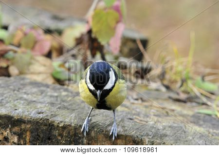 The great tit.