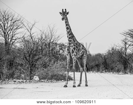 Young giraffe standing on the dusty road